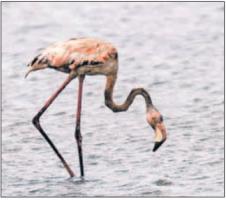Tientallen dieren in het natuurgebied werden besmeurd door olie, zoals de flamingo's. FOTO'S LOEK HEIJST