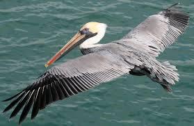 Pelikanen op St. Maarten nemen af