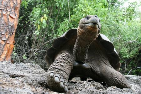 Galapagos-reuzenschildpad